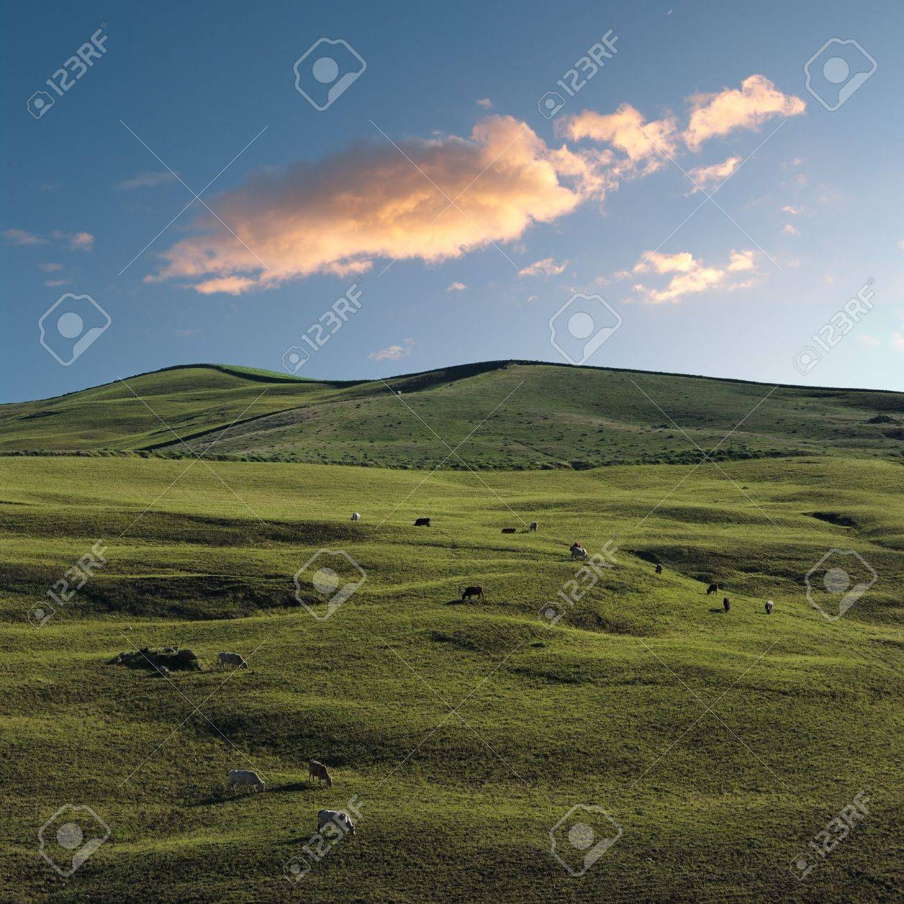 herd of cows are grazing in a green hillside field at the twilight Stock Photo - 7136400