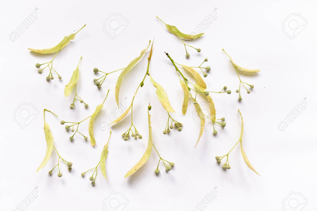 Linden leaves and flowers and fruits fetus on branches on isolated background for design composition - 104278337
