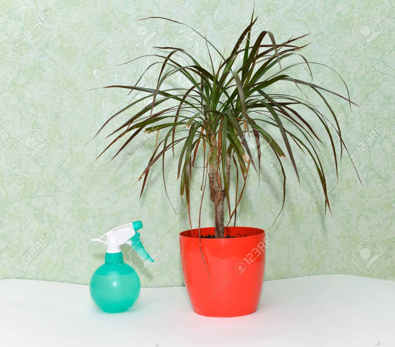 dry home flower care watering home plants palm tree dracaena Palm Plant For Home on herb plants for home, vine plants for home, potted plants for home, tropical plants for home, water plants for home, decorative plants for home, indoor plants for home,
