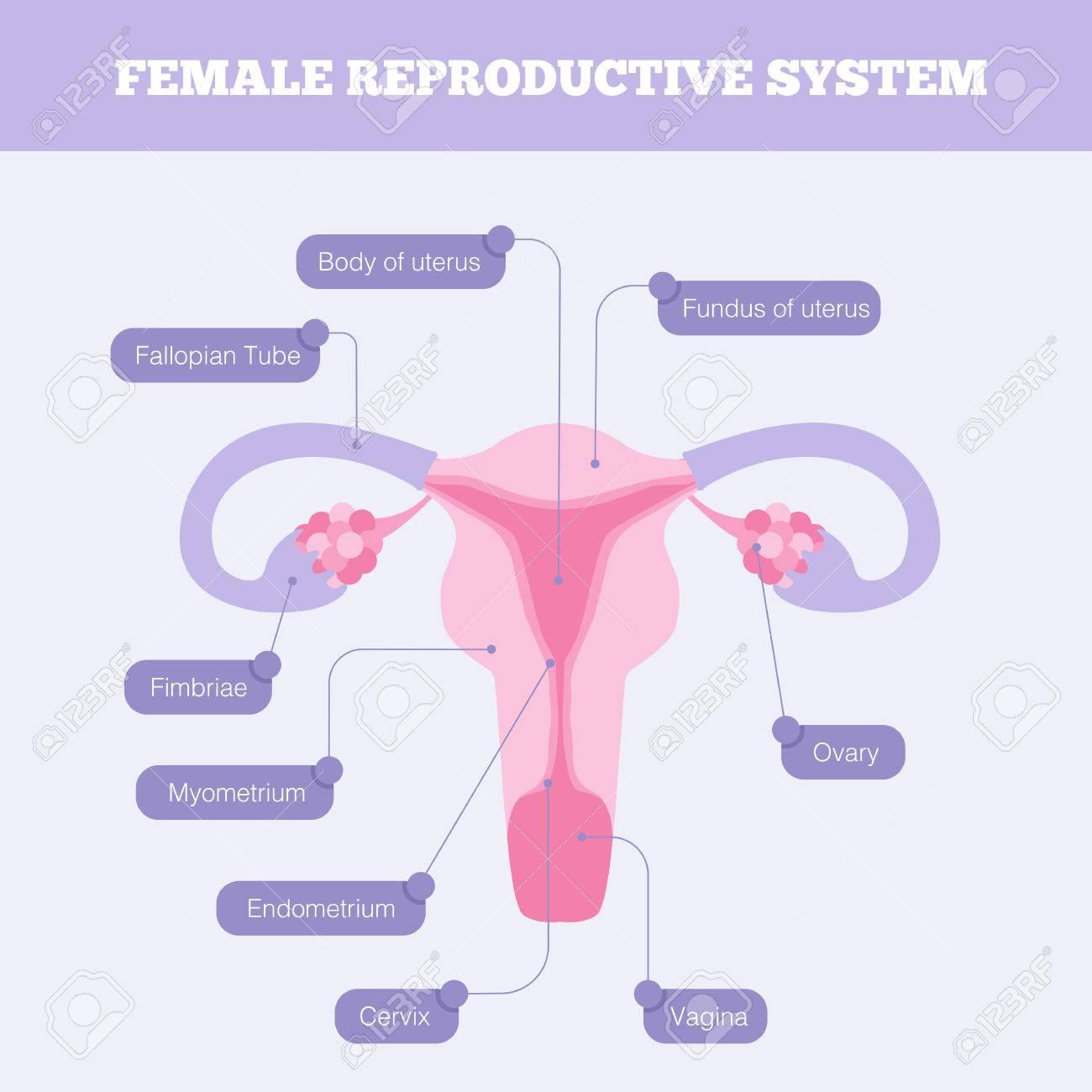 Das Weibliche Reproduktionssystem Flach Vektor Infografik. Anatomie ...