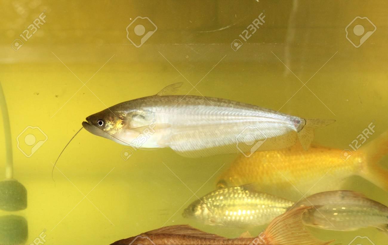 Sheatfish swimming in aquarium Stock Photo - 21739451