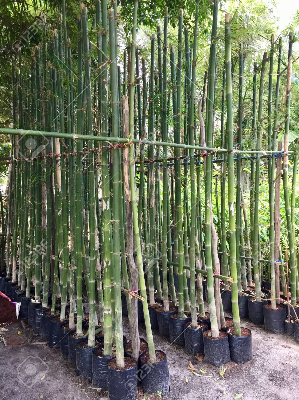 Bamboo Plants Stock Photo Picture And Royalty Free Image Image
