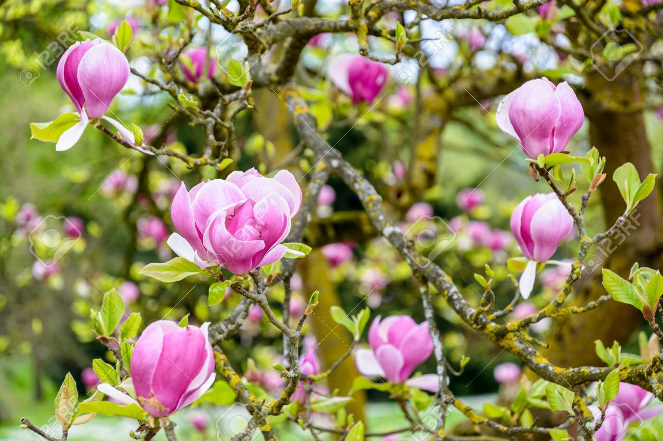 Close Up View Of The Big Purple Flowers Of A Magnolia With A Stock