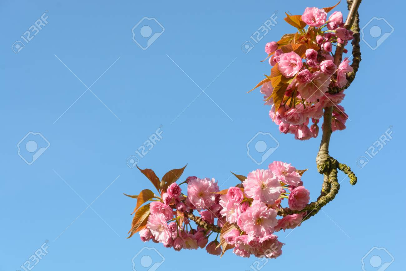 A branch of a blossoming japanese cherry tree with clusters of a branch of a blossoming japanese cherry tree with clusters of pink flowers against blue sky mightylinksfo