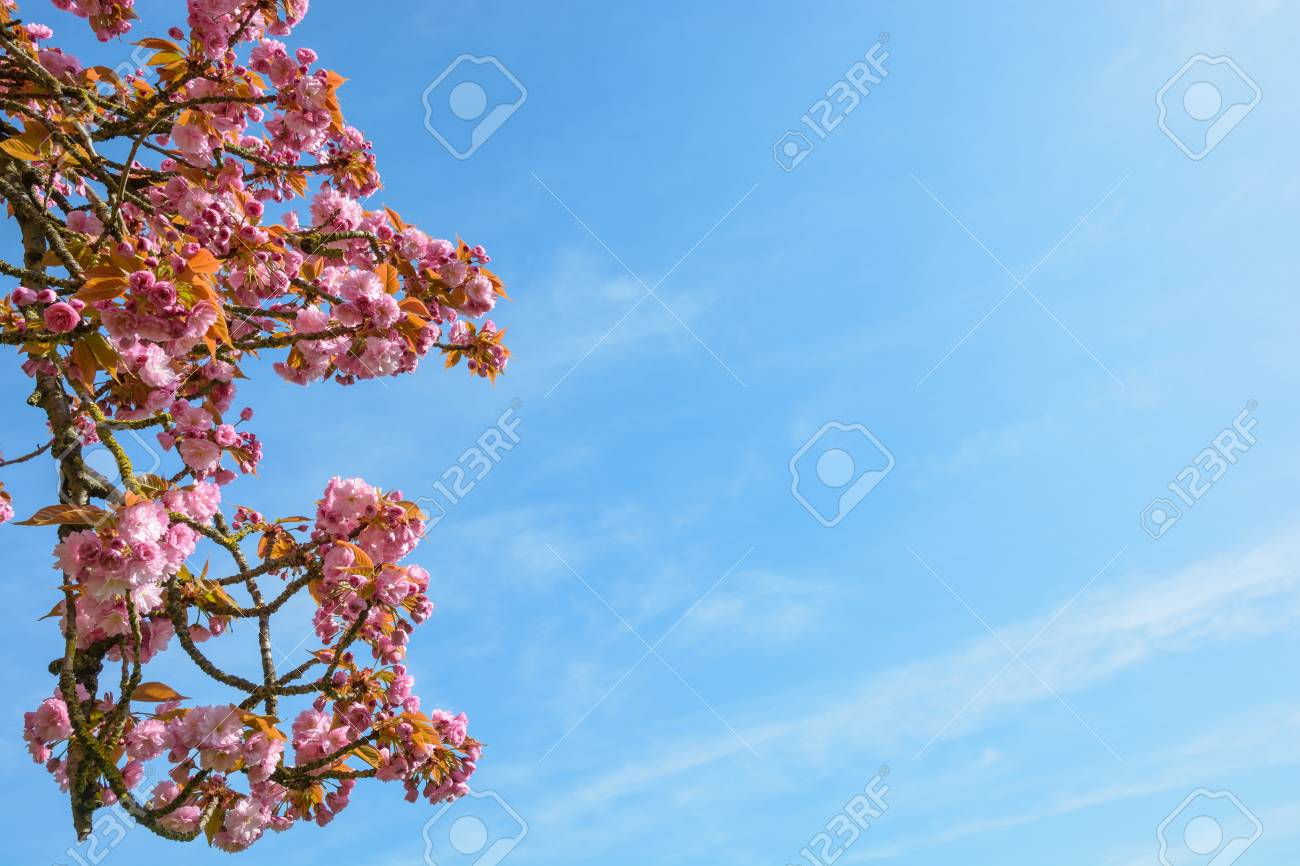 Branches Of A Blossoming Japanese Cherry Tree With Clusters Of