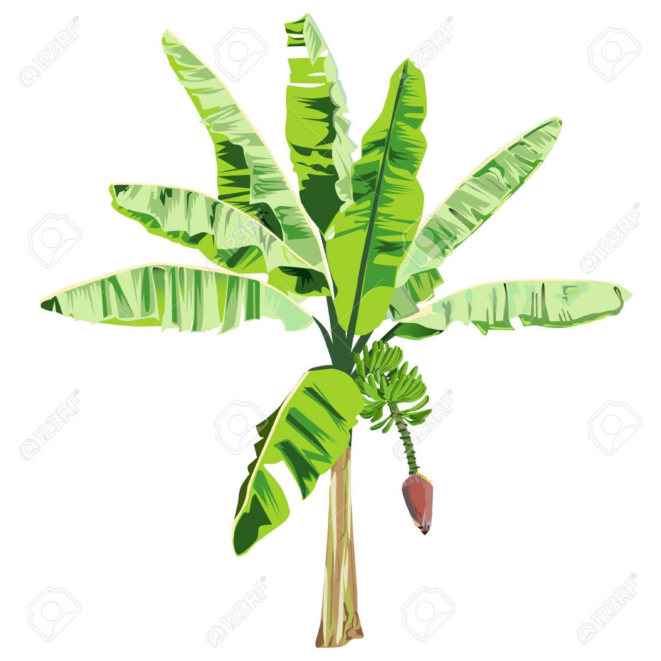 Young Banana Tree With A Flower And Fruits In The Color Vector ...
