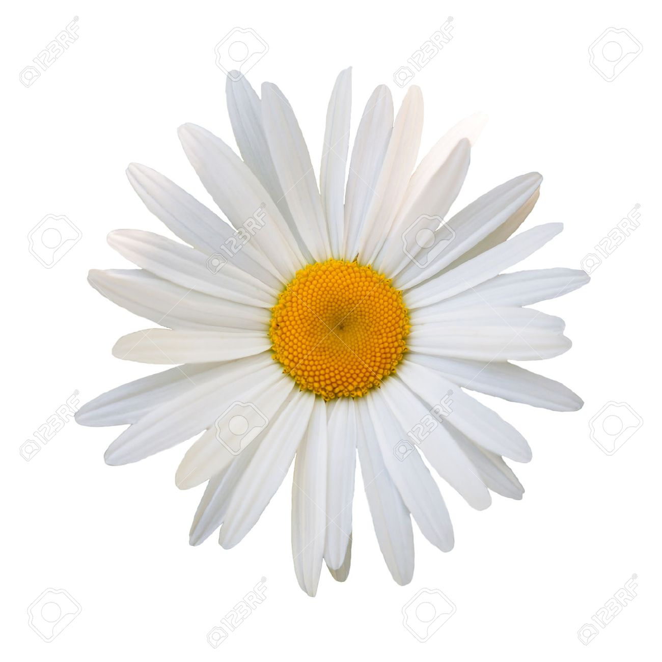 Beautiful flower white daisy on white background stock photo beautiful flower white daisy on white background stock photo 41556534 mightylinksfo