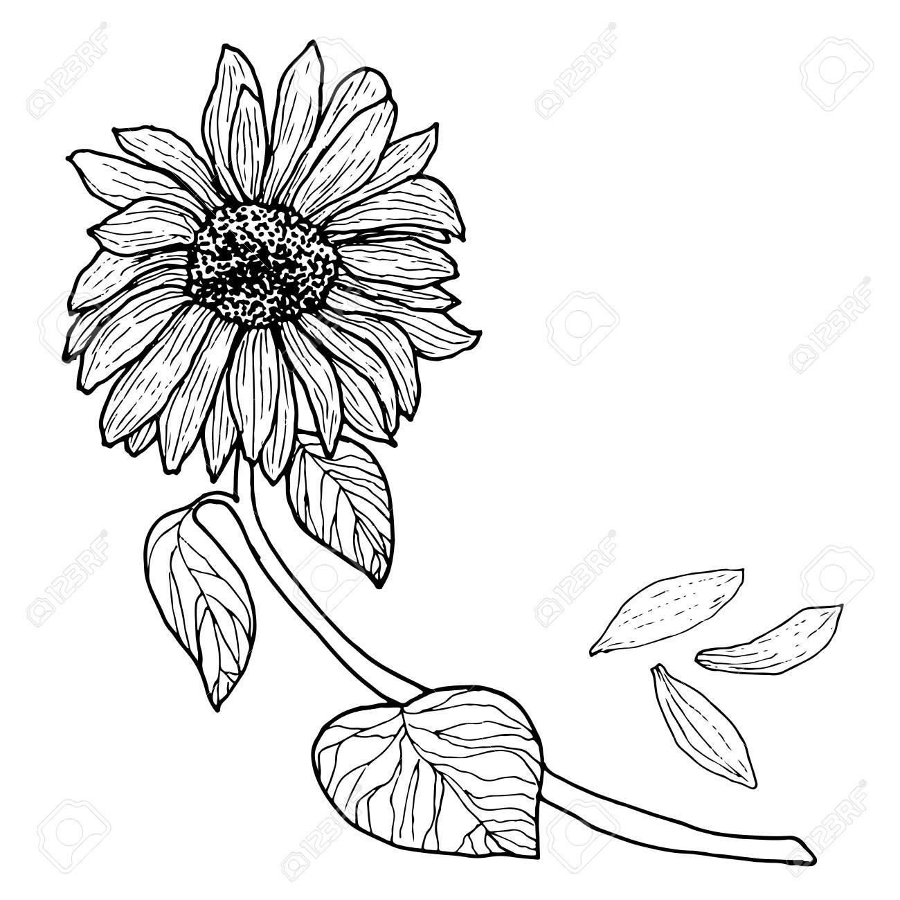 Negro Blanco Girasol En Una Rama Con Hojas Brote De Flor Aislado