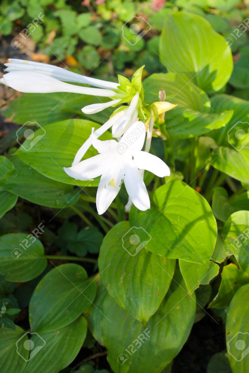 White Flowers Of Hosta Stock Photo Picture And Royalty Free Image