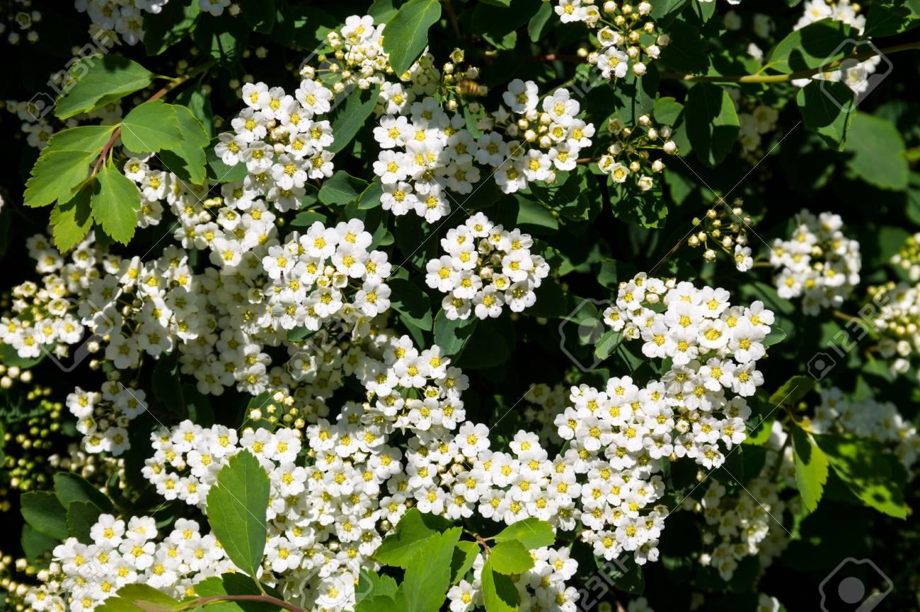 White Flowering Shrub Spirea Aguta Brides Wreath Stock Photo