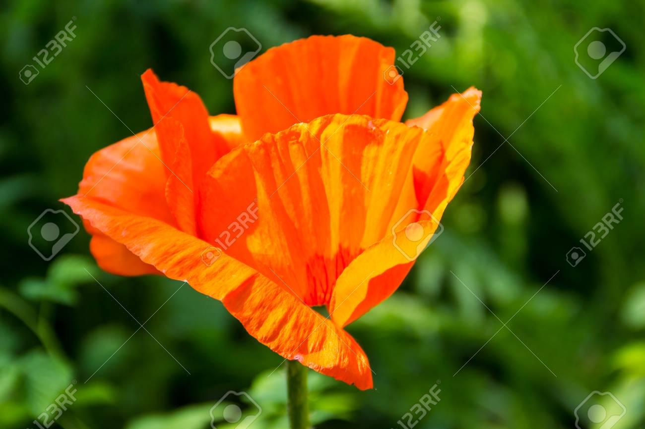 Orange Poppy Flower In Garden Stock Photo Picture And Royalty Free
