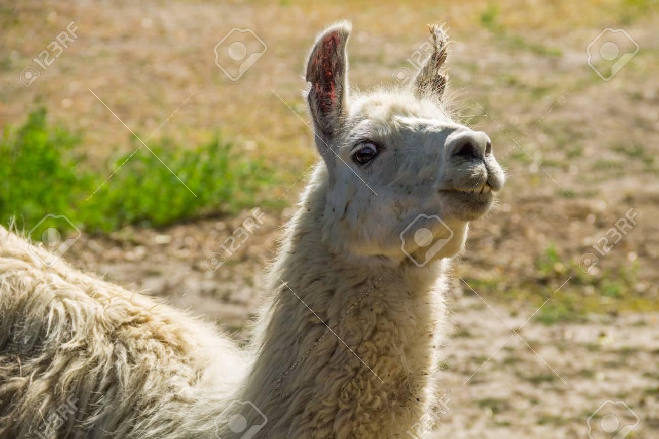 Portrait of a white lama. Llama in paddock - 88164644