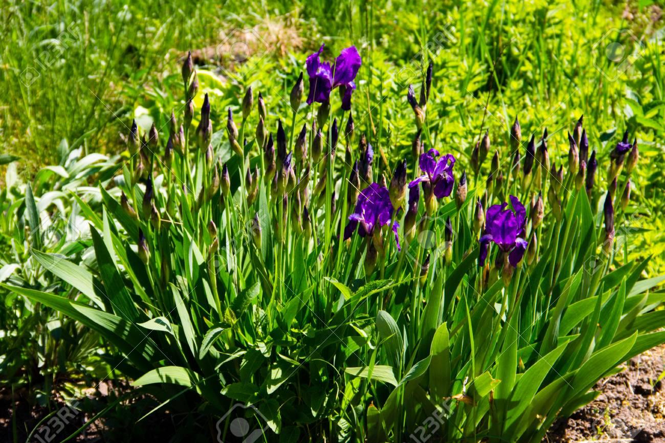 Purple iris flowers on flowerbed stock photo picture and royalty purple iris flowers on flowerbed stock photo 90617063 izmirmasajfo
