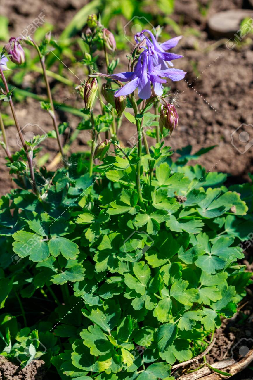 Delicate Columbine Flower Aquilegia Vulgaris In Garden Stock