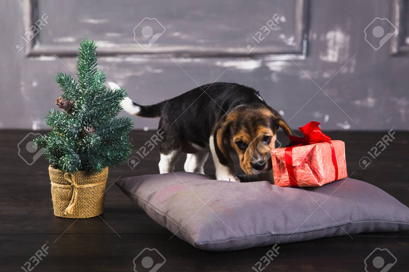 young beagle puppy sniffing gift box with red bow christmas stock