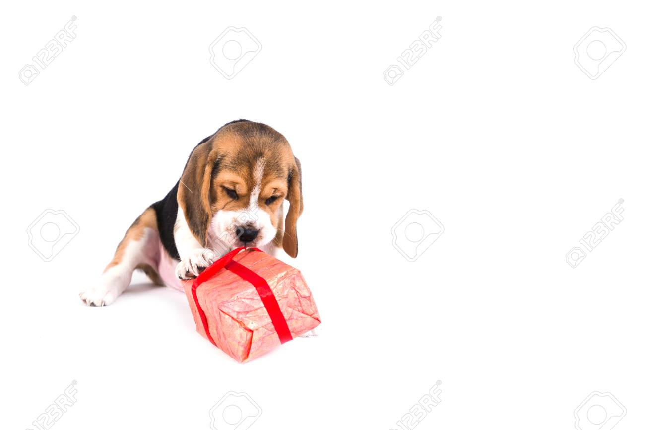 Cute Beagle Puppy Is Playing With Christmas Present In Pink Box Stock Photo Picture And Royalty Free Image Image 91094412