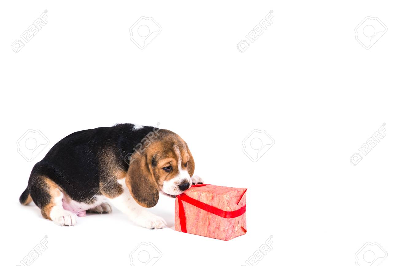 Cute Beagle Puppy Is Playing With Christmas Present In Pink Box Stock Photo Picture And Royalty Free Image Image 91699724