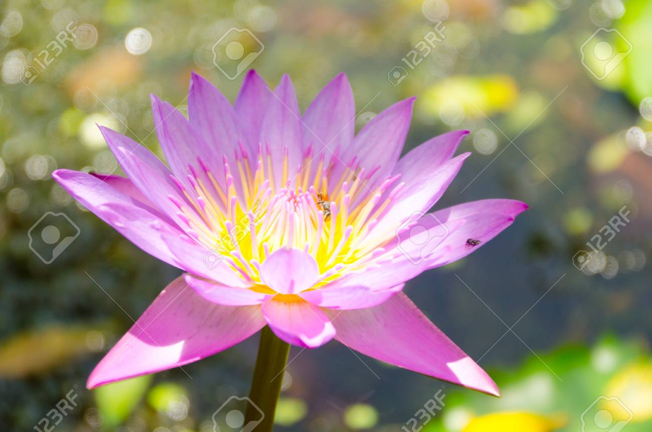 The Advantage Of Such Isolation Lotus Lily Or Lotus Root Bring