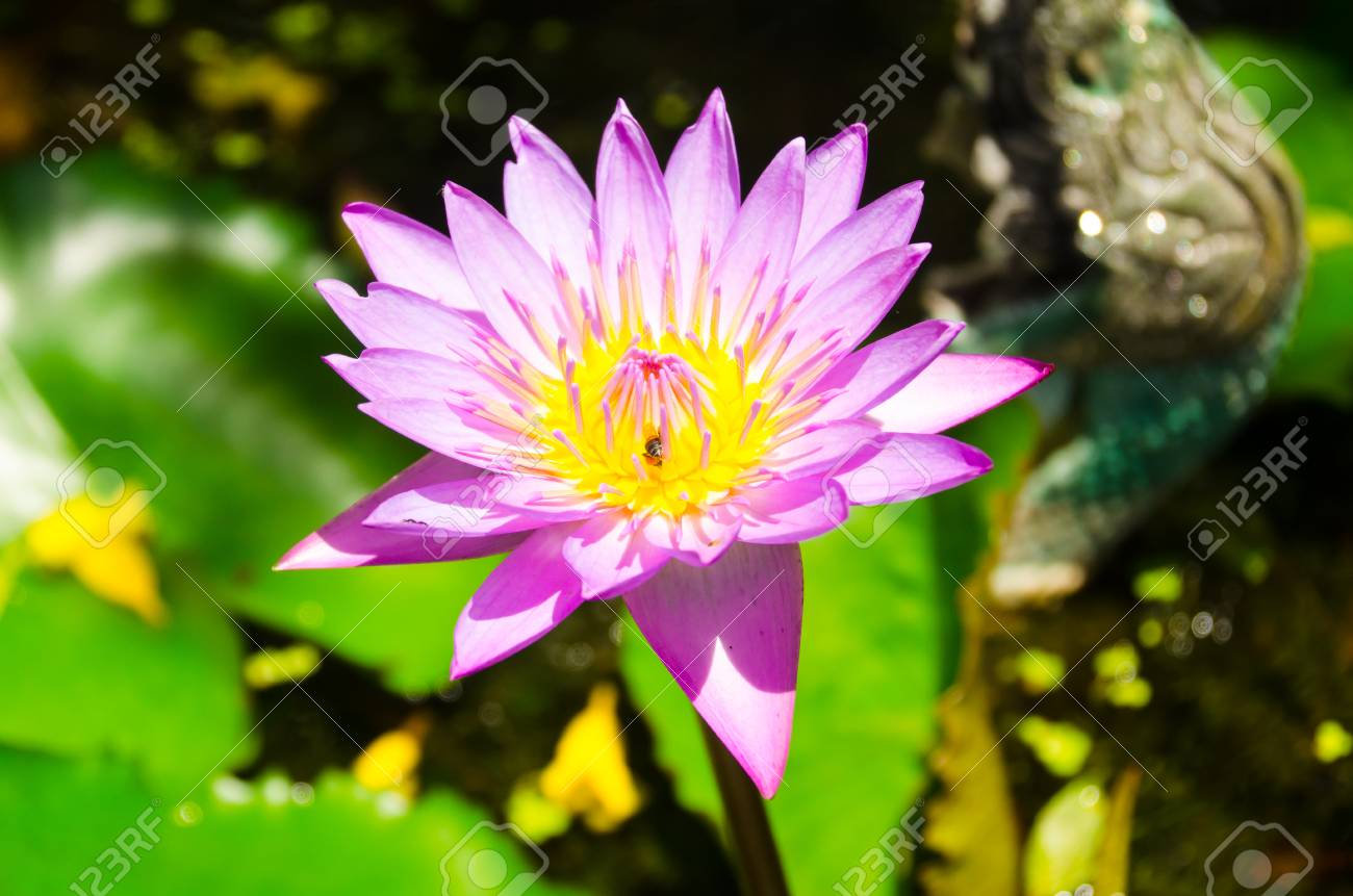 The advantage of such isolation lotus lily or lotus root bring stock photo the advantage of such isolation lotus lily or lotus root bring to a boil hot dry mightylinksfo
