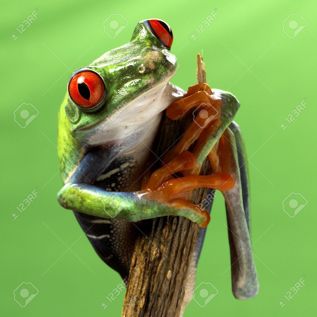 Red Eyed Treefrog Macro Isolated Exotic Frog Curious Animal Bright ...