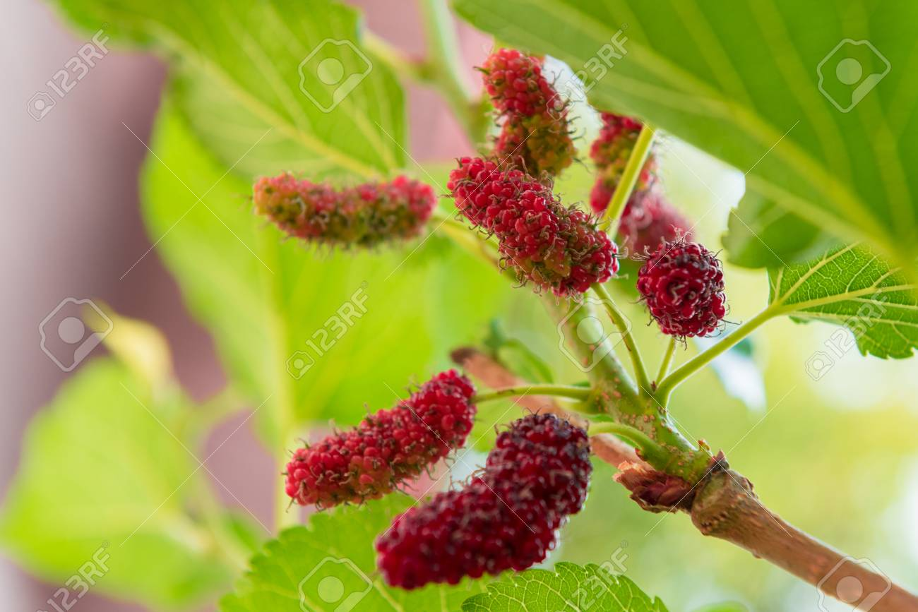 Mulberry And Leaves On A Tree, Mulberry Have Red And Black Color ...