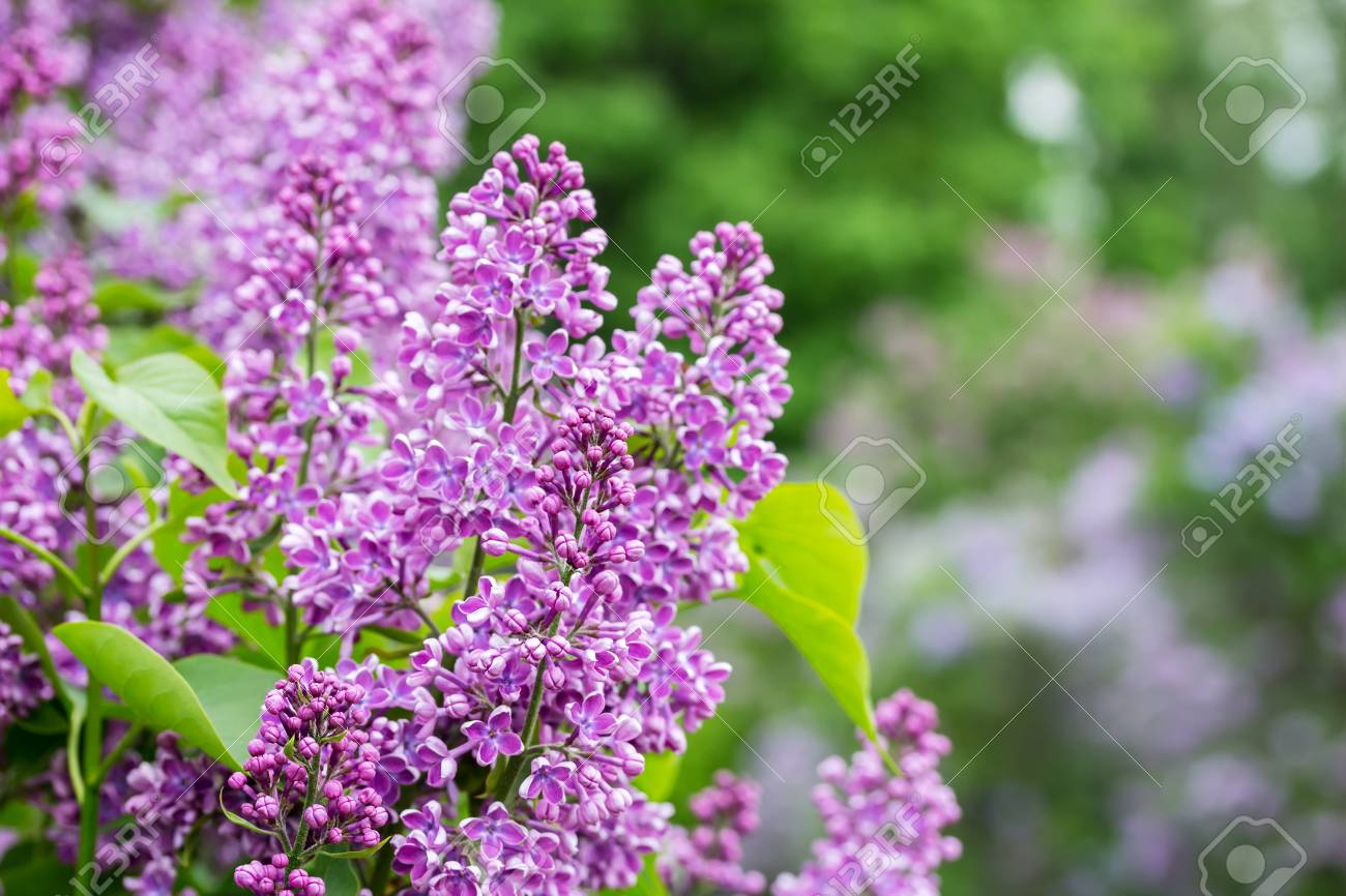 garten blumen lila, naturhintergrund mit lila blumen. lila garten. hintergrund mit, Design ideen