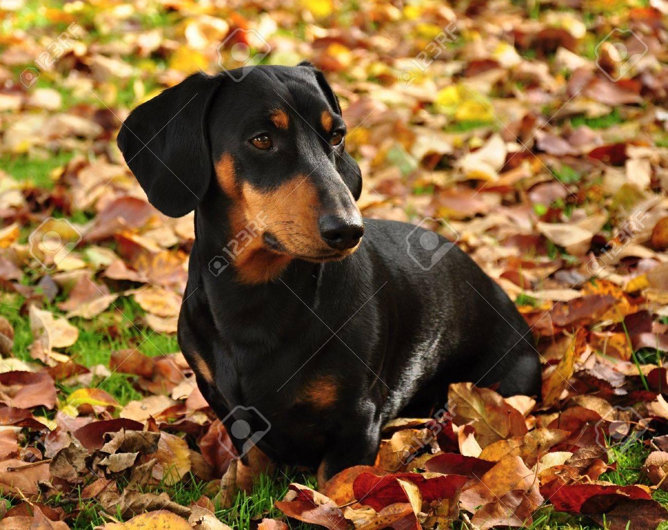 Little black dachshund on autumn garden with leaves Stock Photo - 15820080