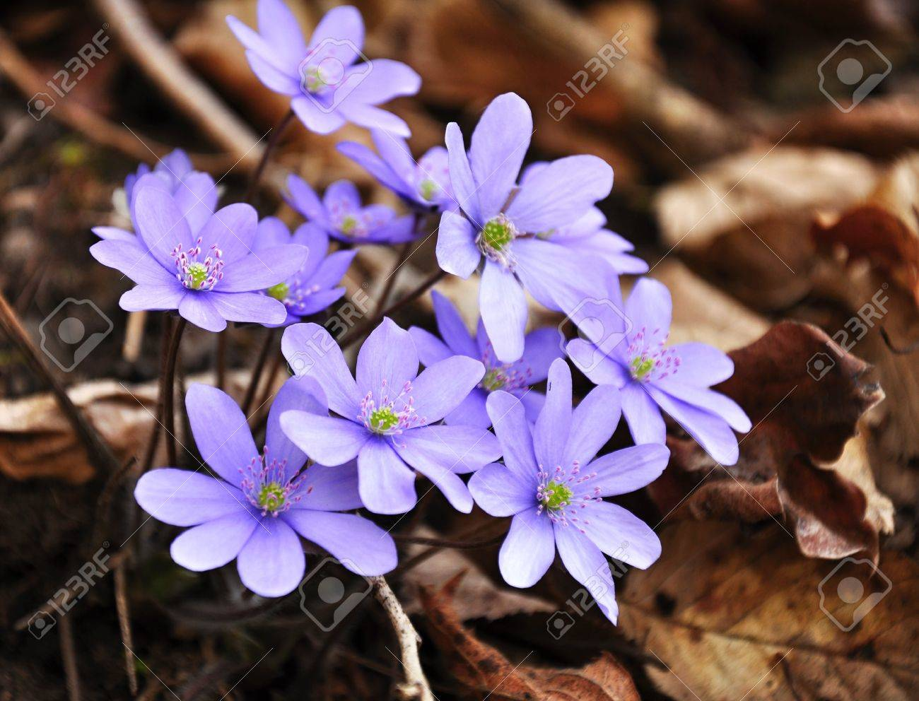 Light Blue Spring Flowers Growing In Early Spring Stock Photo