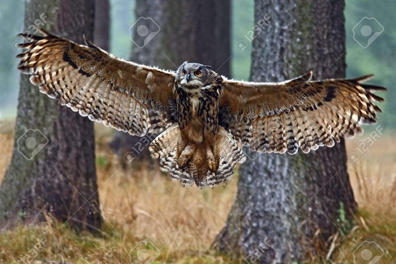 Flying Eurasian Eagle Owl with open wings in forest habitat with trees, wide angle lens photo - 51632197