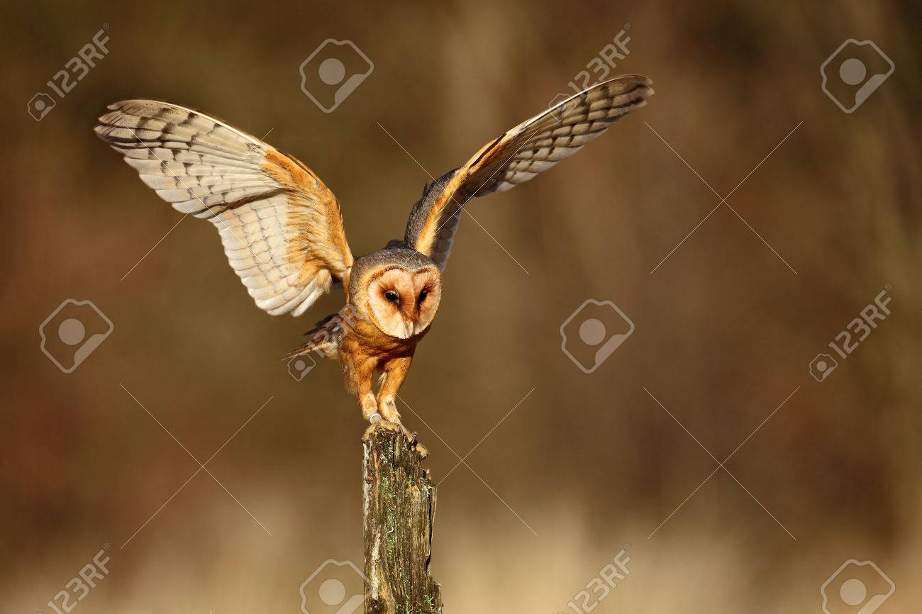 Barn Owl Landing With Spread Wings On Tree Stump At The Evening Stock Photo Picture And Royalty Free Image Image 51632344