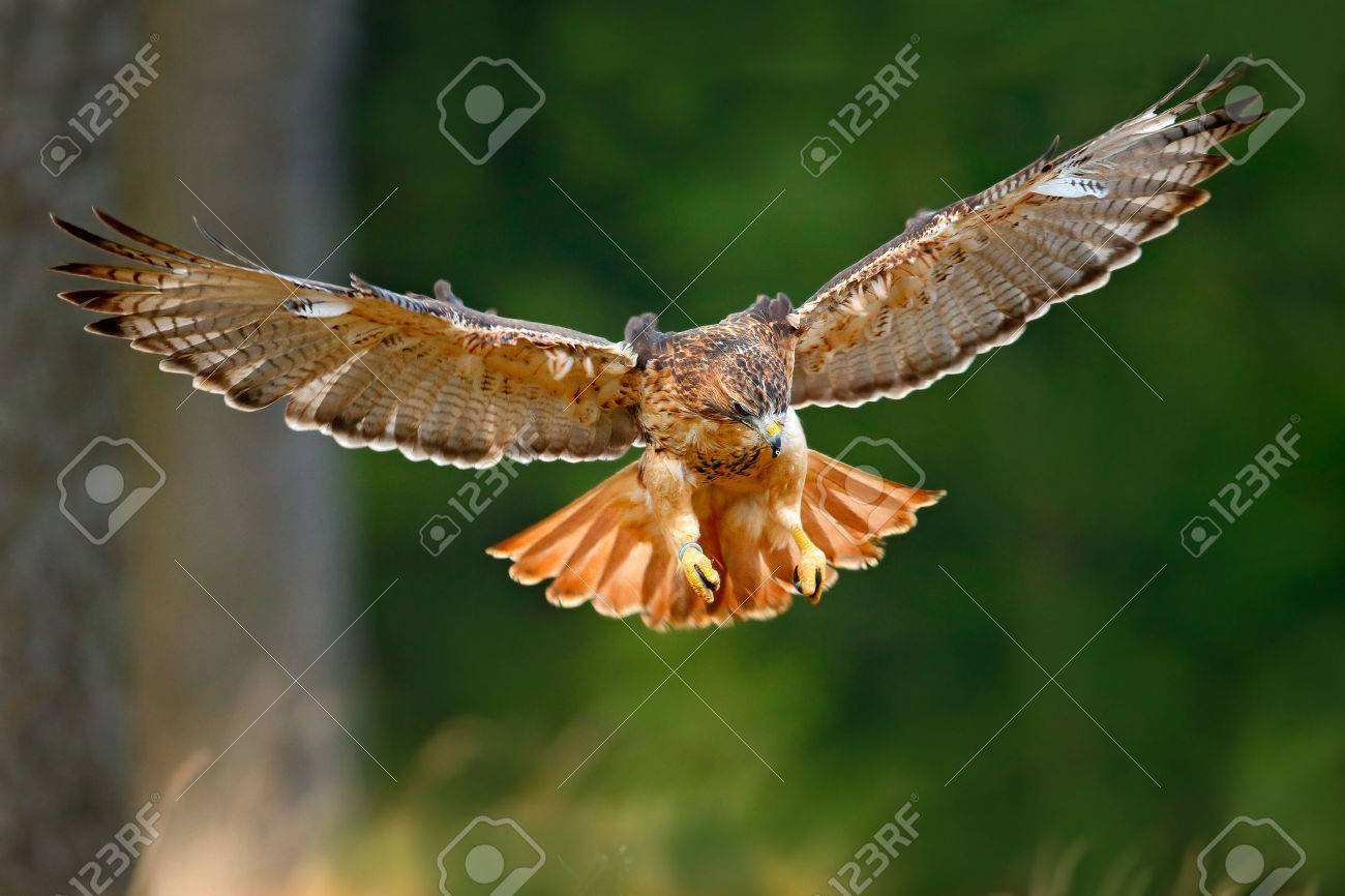 Flying bird of prey, Red-tailed hawk, Buteo jamaicensis, landing in the forest - 51633372