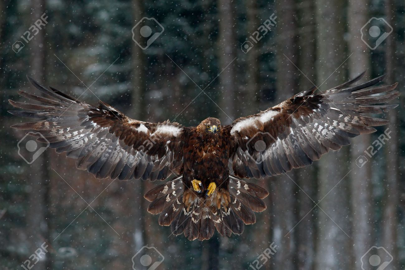 flying birds of prey golden eagle with large wingspan photo