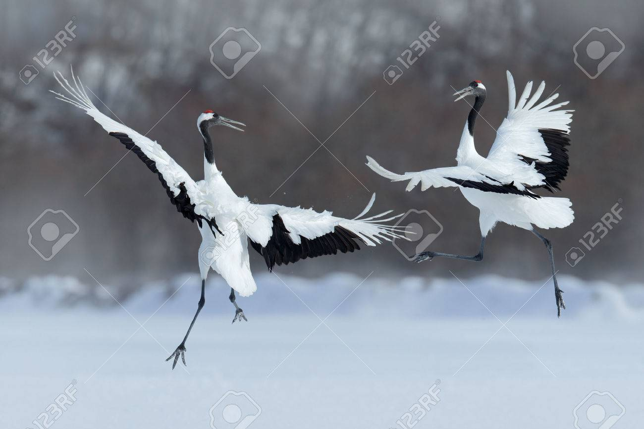 Dancing pair of Red-crowned crane with open wing in flight, with snow storm, Hokkaido, Japan - 51633013