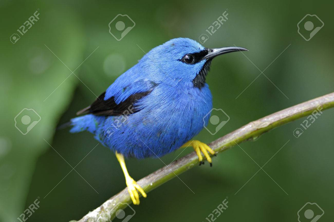 Shining Honeycreeper, Cyanerpes Lucidus, Exotic Tropic Blue Bird ...