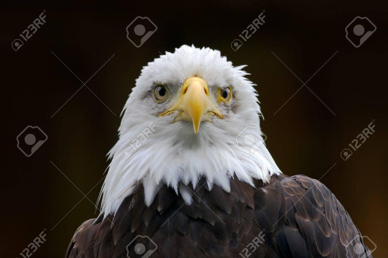 Bald Eagle Haliaeetus Leucocephalus Portrait Of Brown Bird Stock