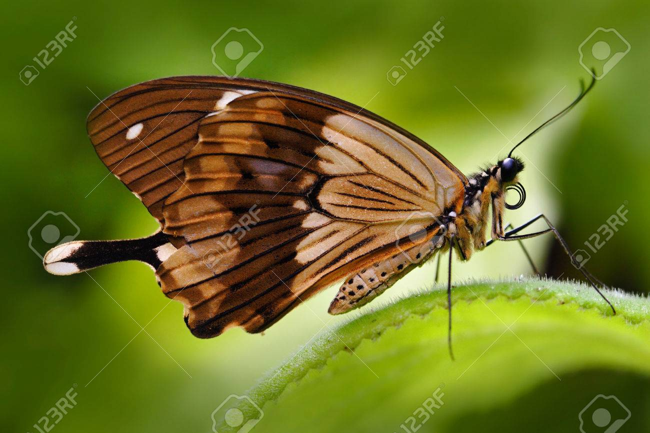 Sưu tập Bộ cánh vẩy 2 - Page 63 75353345-mocker-swallowtail-papilio-dardanus-african-swallowtail-butterfly-papilio-dordanus-sitting-on-the-wh
