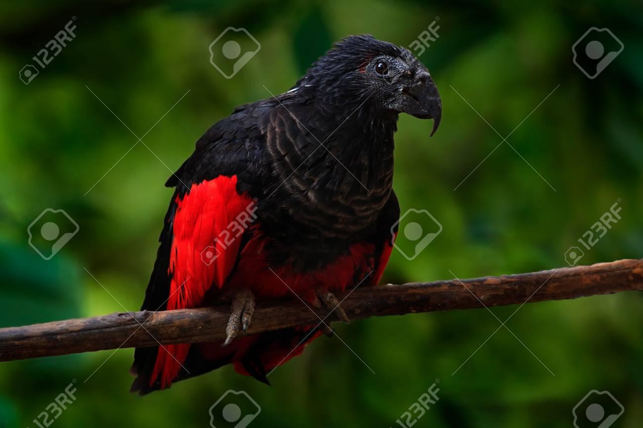 schwarzer papagei