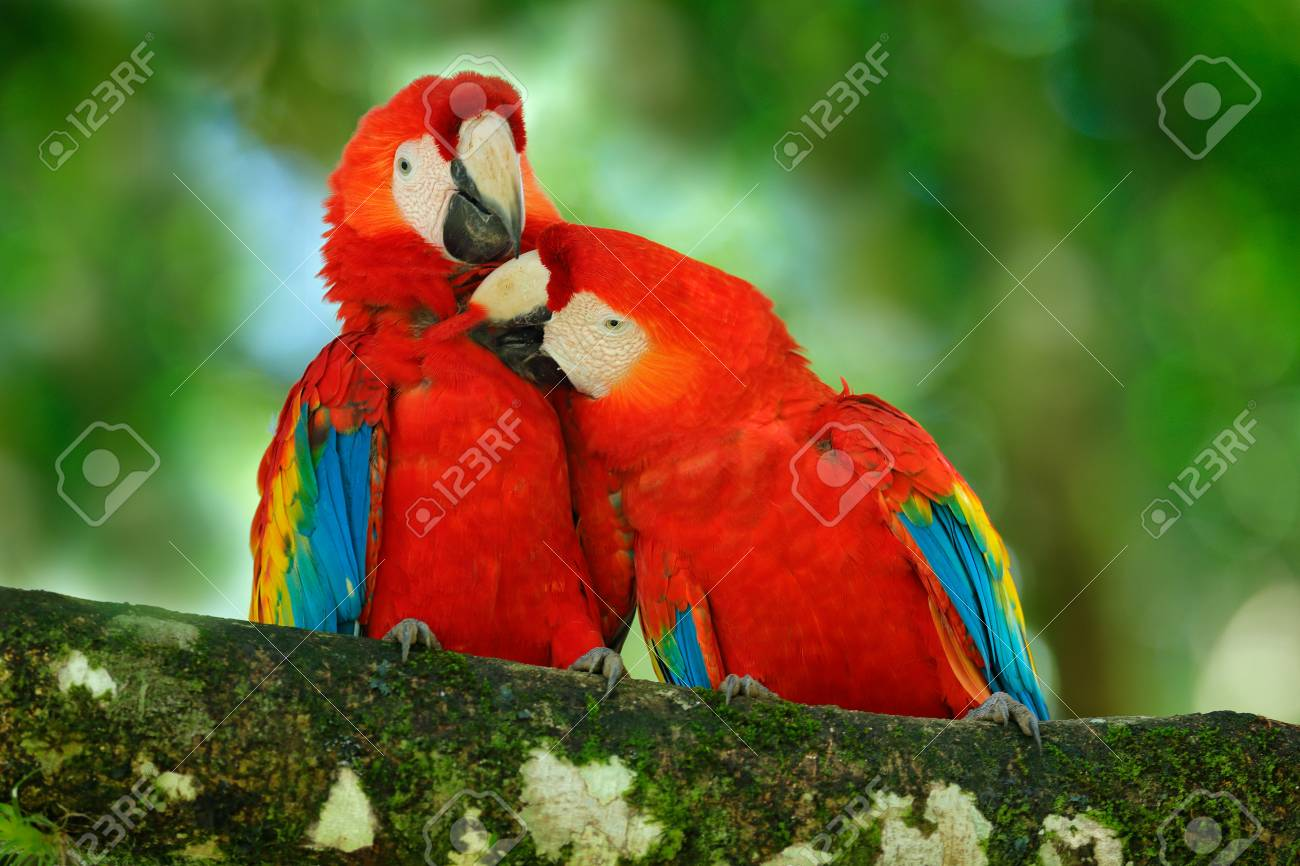 Red bird love  Pair of big parrot Scarlet Macaw, Ara macao, two