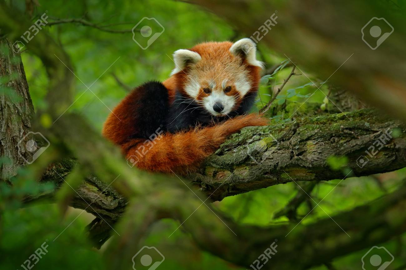 Red panda lying on the tree with green leaves. Cute panda bear in forest habitat. Wildlife scene in nature, Chengdu, Sichuan, China. - 92554874