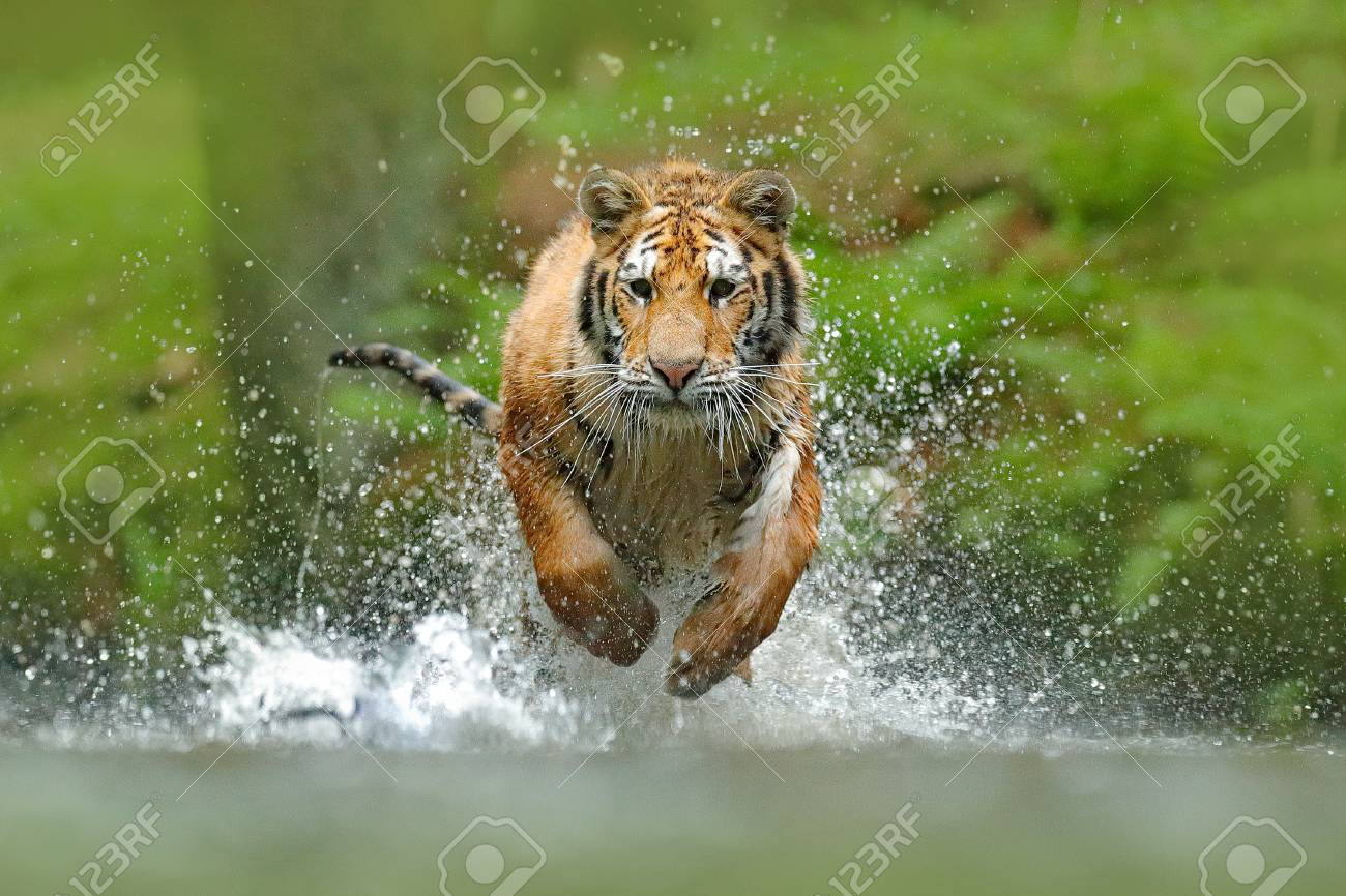 Siberian tiger, Panthera tigris altaica, low angle photo direct face view, running in the water directly at camera with water splashing around. Attacking predator in action. Tiger in taiga environment. - 92393877