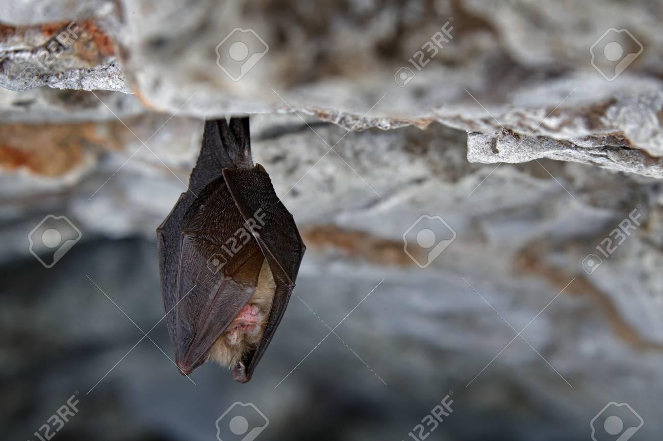 Souris Grimpe Au Mur petite chauve-souris en fer à cheval, rhinolophus hipposideros, dans  l?habitat troglodyte de la nature, cesky kras, tchèque. animal souterrain  assis