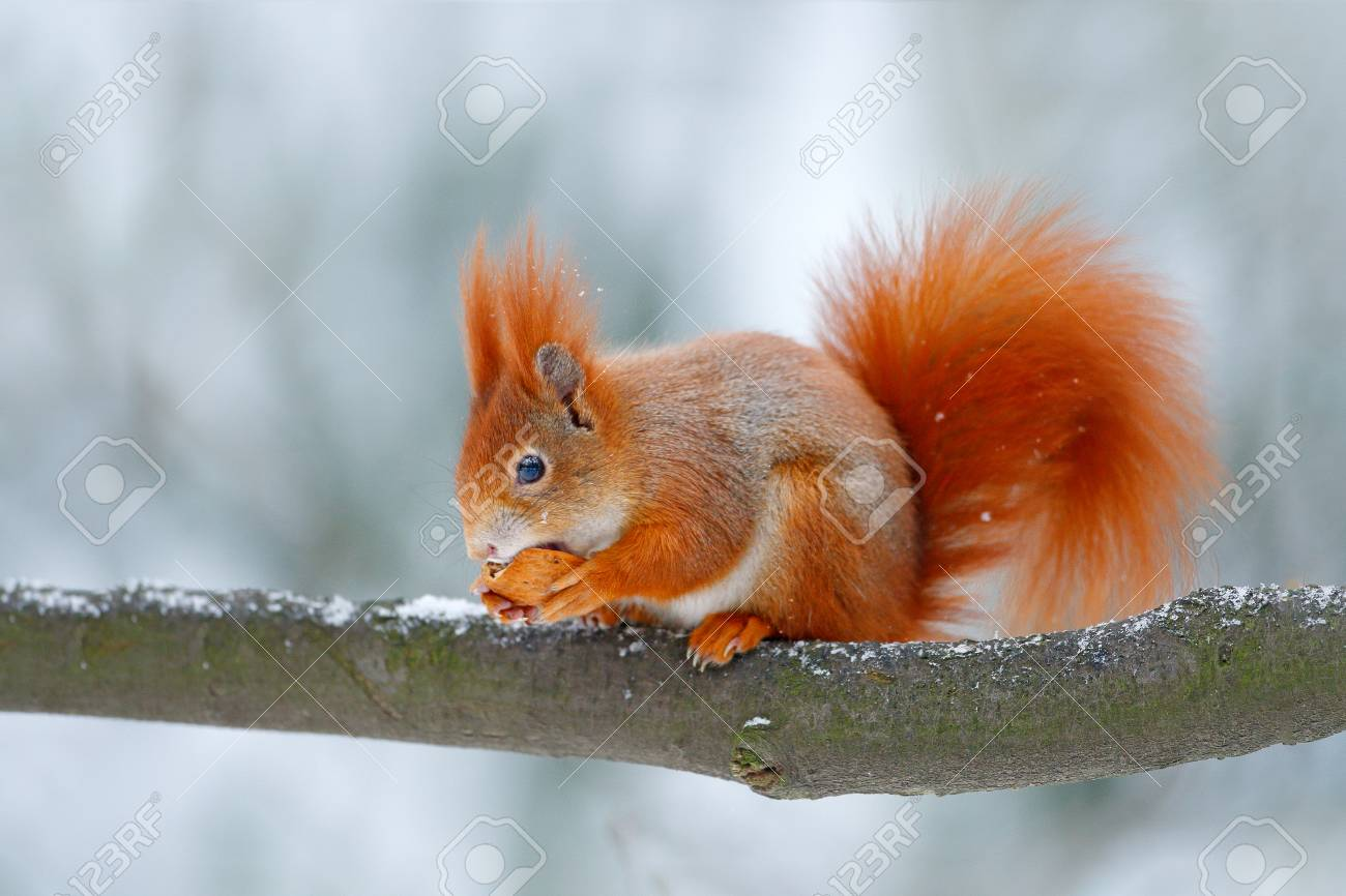 Cute orange red squirrel eats a nut in winter scene with snow, Czech republic. Wildlife scene from snowy nature. Animal behaviour. Squirrel with big orange tail. Feeding scene on the tree. - 93364634