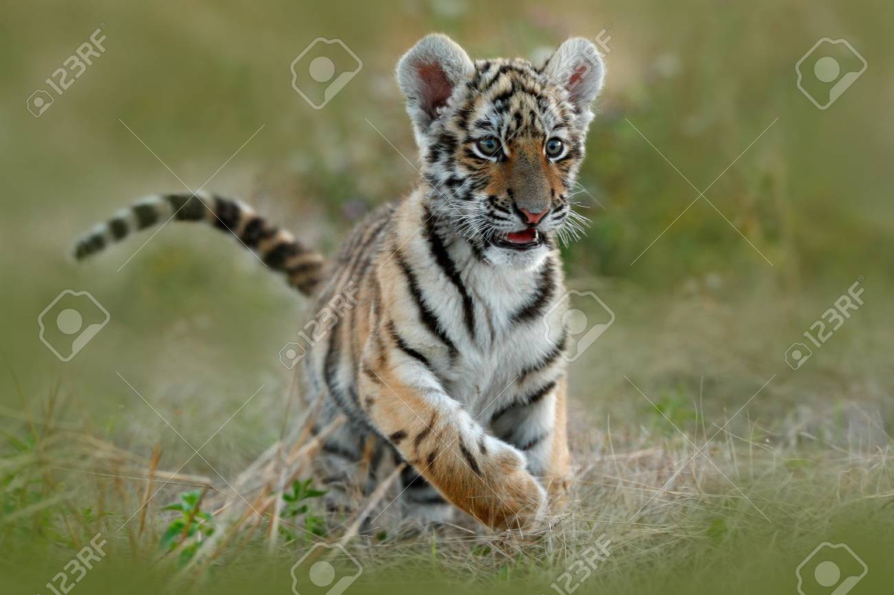 Cute tiger cub siberian tiger in grass amur tiger running in cute tiger cub siberian tiger in grass amur tiger running in the meadow thecheapjerseys Image collections