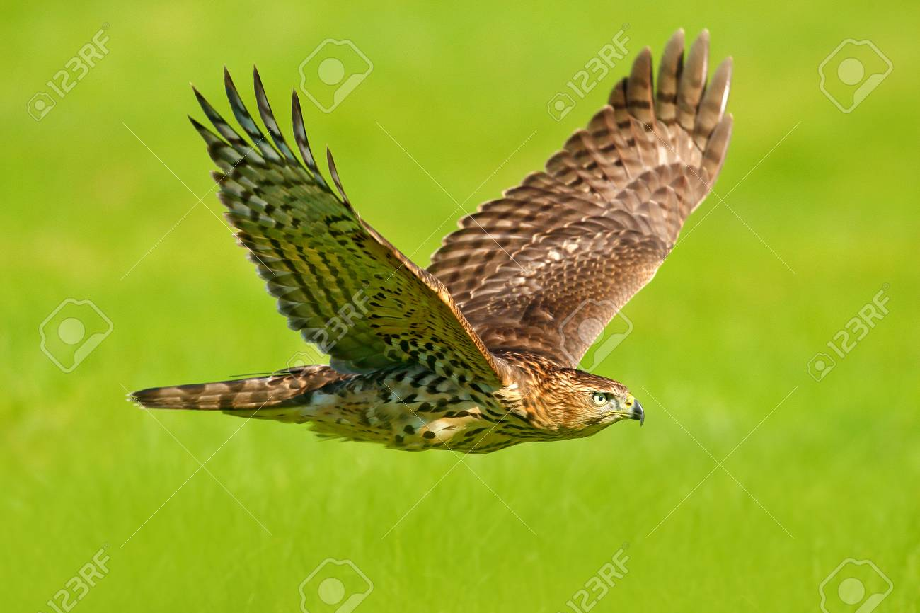Flying bird of prey Goshawk, Accipiter gentilis, with yellow summer meadow in the background, bird in the nature habitat, action scene, Sweden. Wildlife scene from nature. Animal in the wood. - 94227342