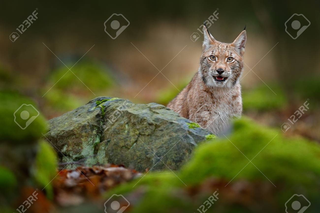 Lynx hidden in the green stone in forest beautiful animal in lynx hidden in the green stone in forest beautiful animal in the nature habitat voltagebd Choice Image