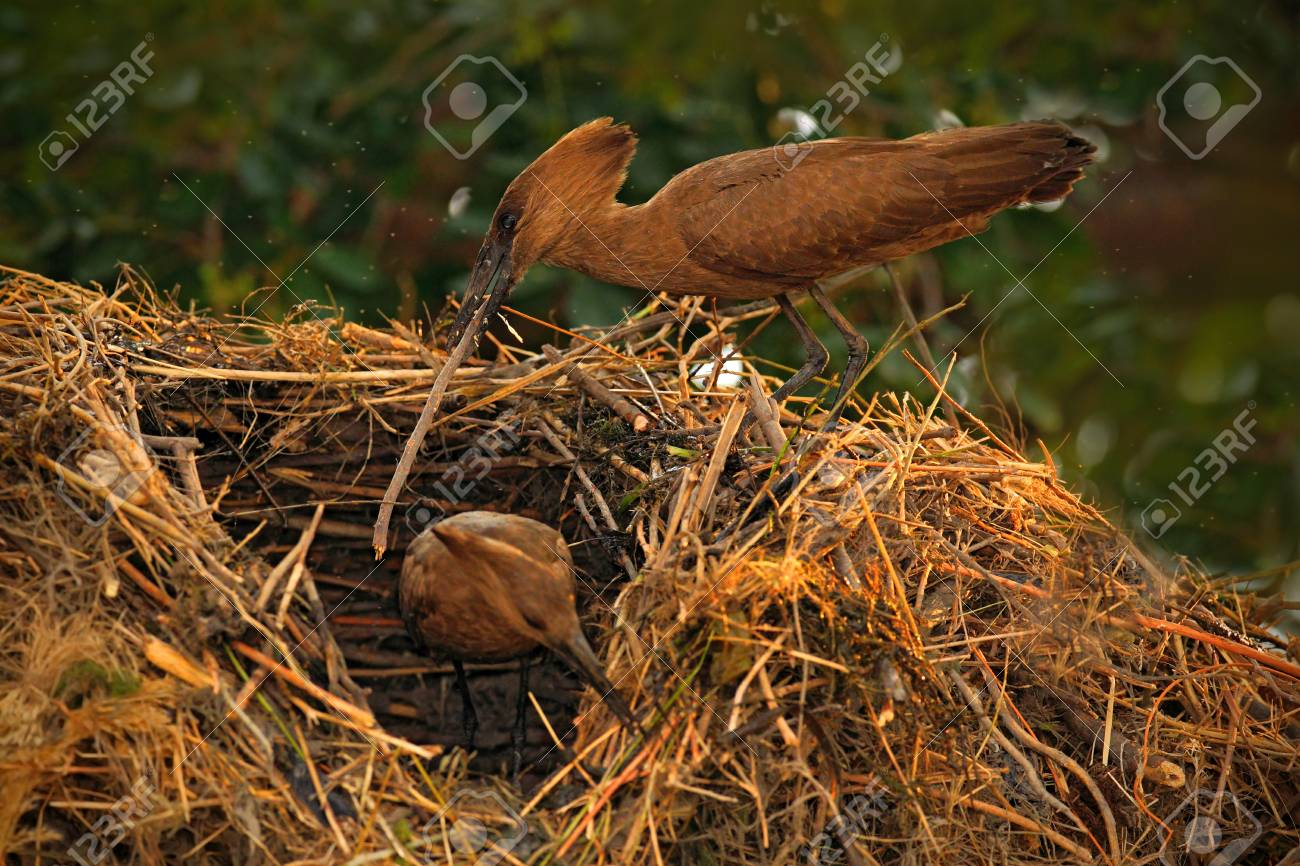Bird Hamerkop Scopus Umbretta In The Nest Bird Building Nest
