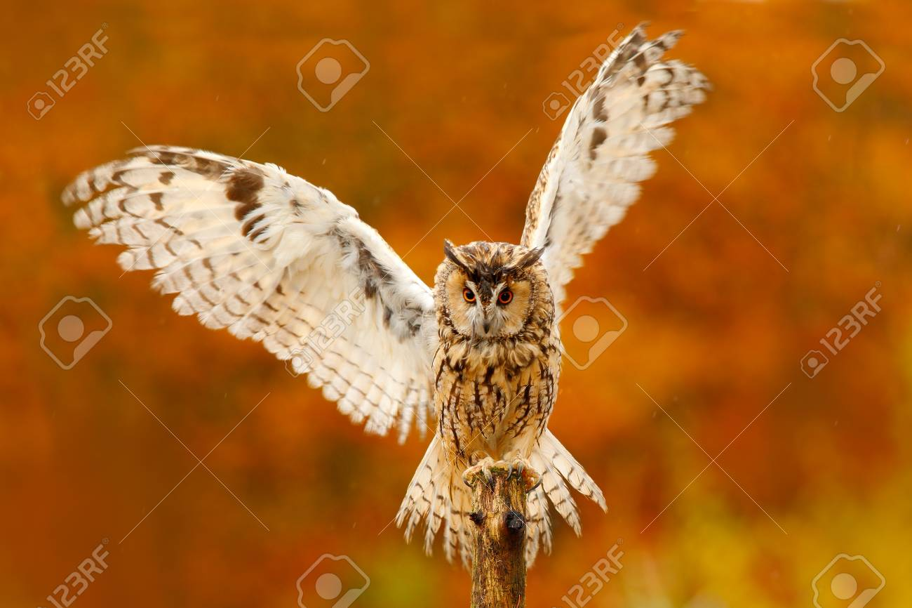 Owl With Open Wings Owl In Orange Autumn Leaves Forest Long Eared