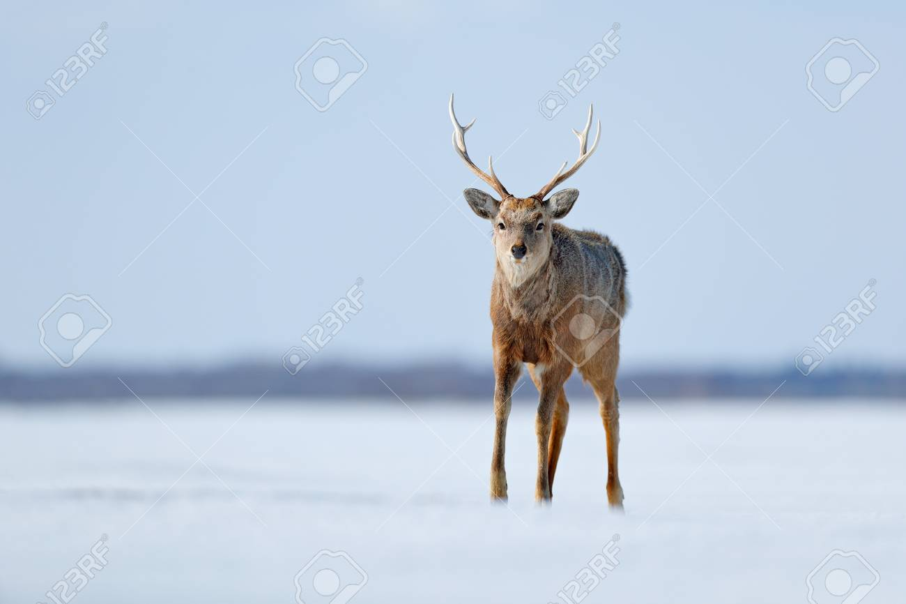 Hokkaido sika deer, Cervus nippon yesoensis, in snow meadow,