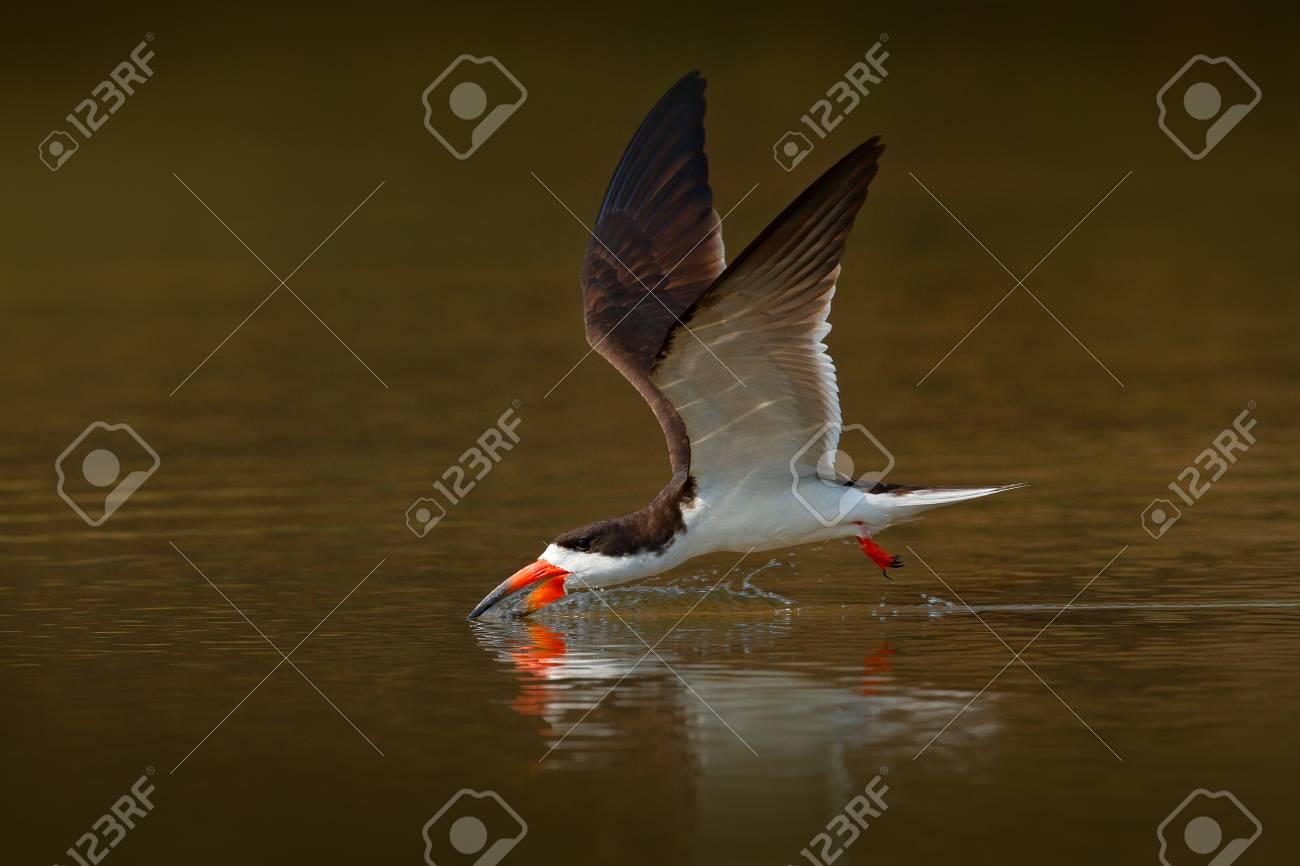 Skimmer drink water  Black skimmer fly, in river, Rio Negro,