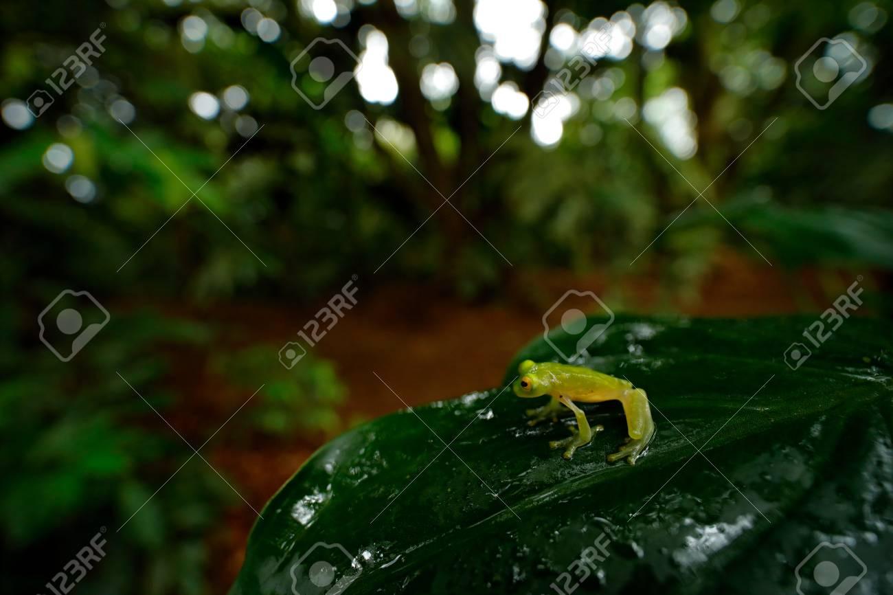 frog in tropic habitat fleschmann s glass frog hyalinobatrachium